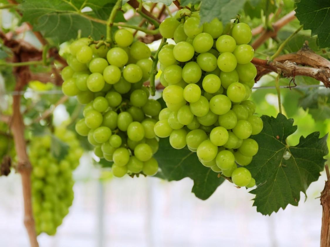 Wine tasting tour Amalfi coast - The vineyard