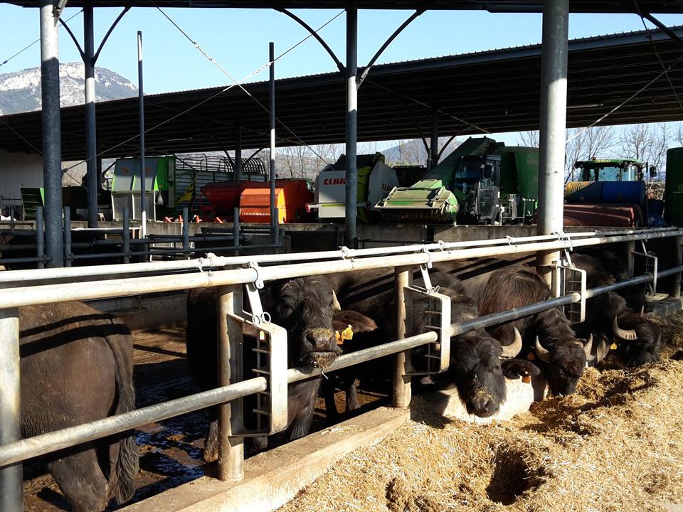 Paestum tour and buffalo mozzarella tasting - Buffalo farm